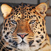 Portrait of a male Amur leopard