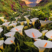 Big Sur,Garrapata State Park, Cala Lilies by kevin mcneal