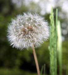 Dreaded White Dandelion