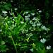 Blumen an Waldrand (Olocsány csillaghúr) by seychellois