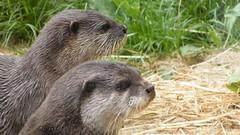 animal, mustelidae, mammal, fauna, sea otter, whiskers, wildlife,
