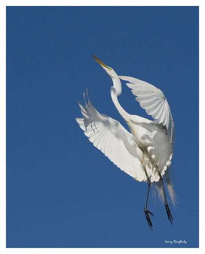 fly wings nikon louisiana neworleans feathers d200 1001nights egret greategret audubonpark ardeaalba wadingbird
