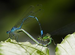 Azure Damselflies mating, by Brian Valentine @ flickr