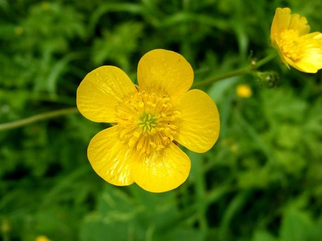 Marsh buttercup.