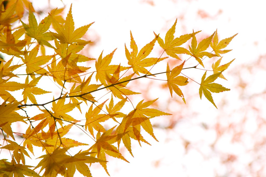 JapaneseMaple2
