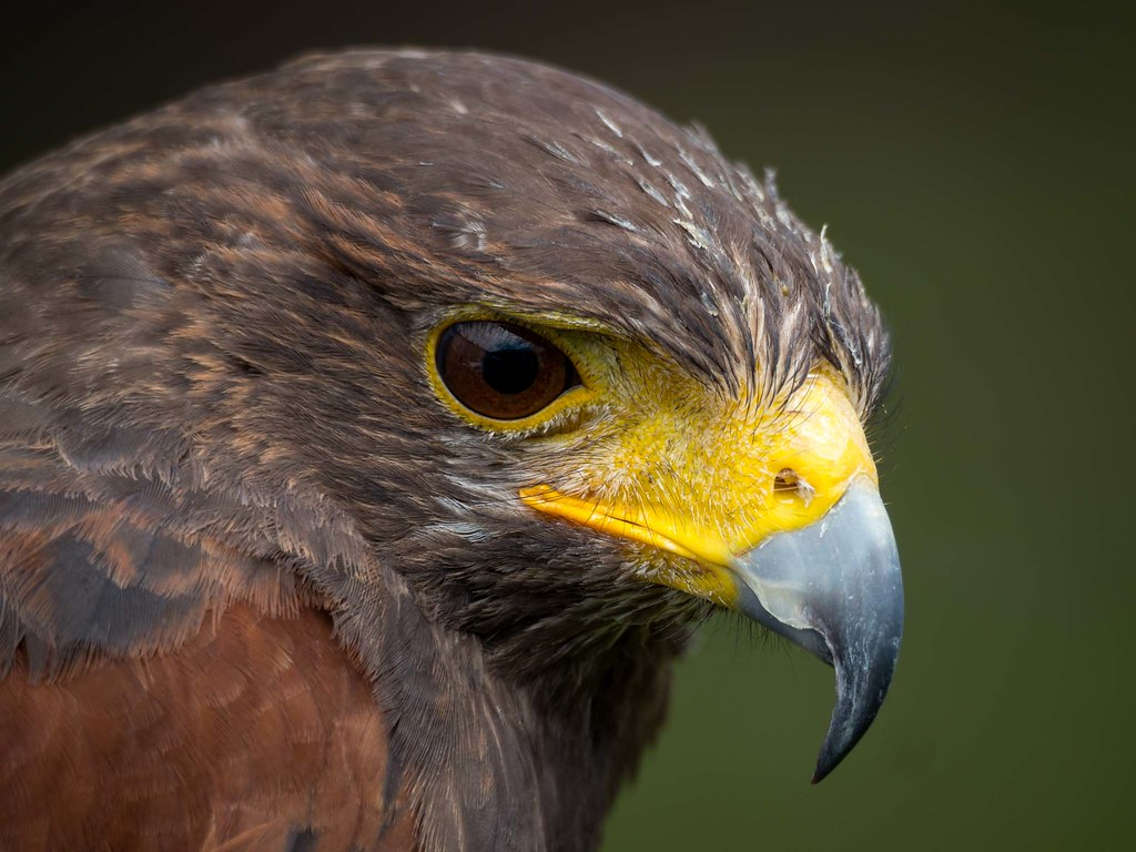 Male Harris Hawk