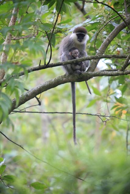Monkey and little monkey, 2. Aregash Lodge, Yirg Alem, Ethiopia