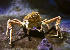 Giant Spider Crab  (DSC_0127)