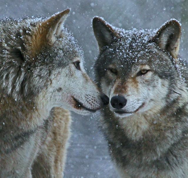 winter wolves grey wolves dublin zoo ireland. Black Bedroom Furniture Sets. Home Design Ideas