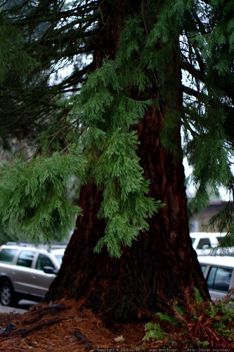 sequoia giganteum outside the west linn library    MG 3692