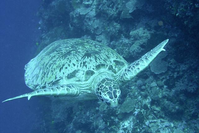 Sipadan Water Village Sea Turtle by flickr user findiver