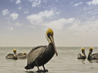 The Pelican Five