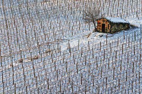 Nevicata nel vigneto - Snowfall in the vineyard