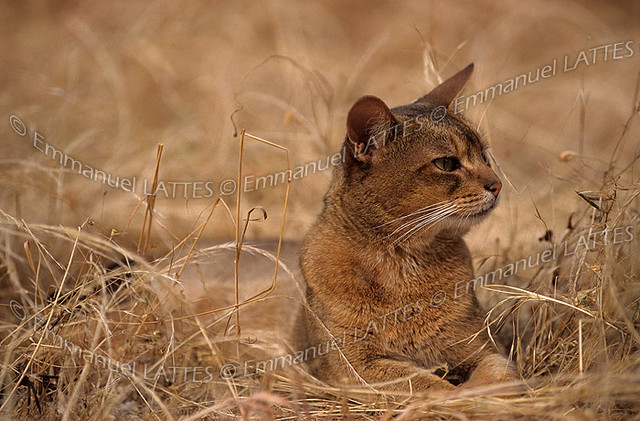 Chat abyssin m le flickr photo sharing - Herbe a chat seche ...