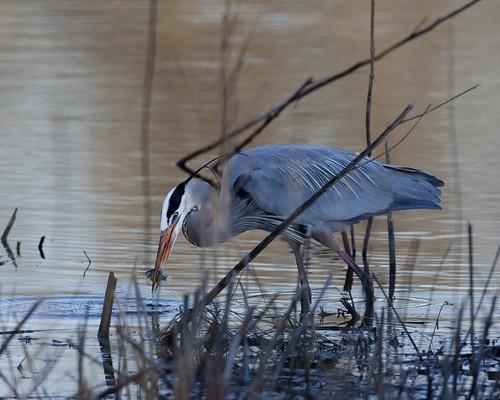 bird ardea prey predator behavior herodias predatory johnheinz slbfeeding slbfishing kh0831