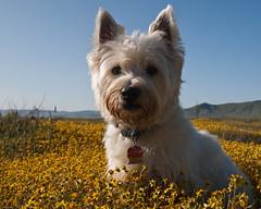 dog breed, animal, flower, dog, pet, australian silky terrier, norfolk terrier, glen of imaal terrier, mammal, norwich terrier, cairn terrier, australian terrier, west highland white terrier, terrier,