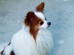 dog breed, animal, dog, phalã¨ne, papillon, carnivoran,