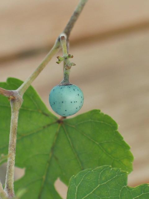 Ampelopsis brevipedunculata berry detail