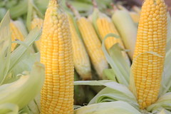 plant(0.0), dish(0.0), crop(0.0), cuisine(0.0), sweet corn(1.0), food grain(1.0), maize(1.0), corn on the cob(1.0), produce(1.0), food(1.0), corn on the cob(1.0),