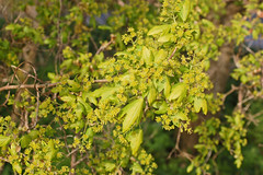 Acer campestre (Field Maple) - 10 - flower heads