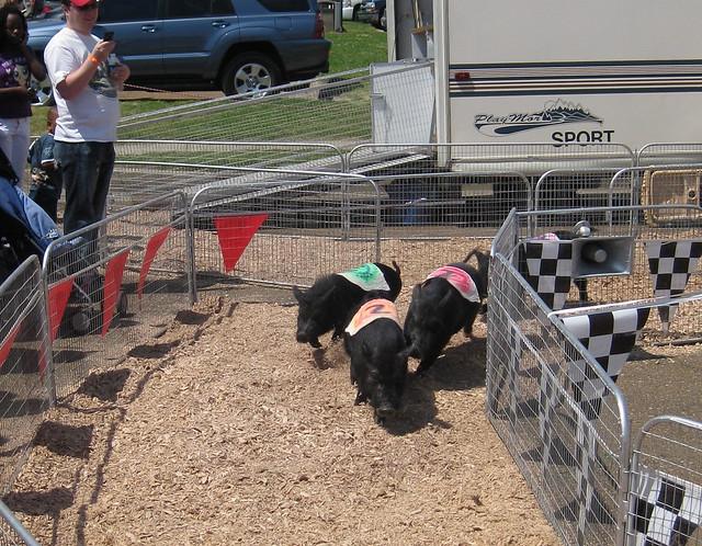 Racing Pigs!