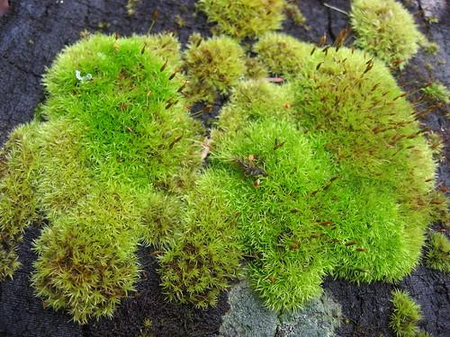 Moss Clump