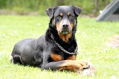 transylvanian hound(0.0), austrian black and tan hound(0.0), dog breed(1.0), animal(1.0), dog(1.0), huntaway(1.0), pet(1.0), lancashire heeler(1.0), jagdterrier(1.0), vulnerable native breeds(1.0), beauceron(1.0), carnivoran(1.0),