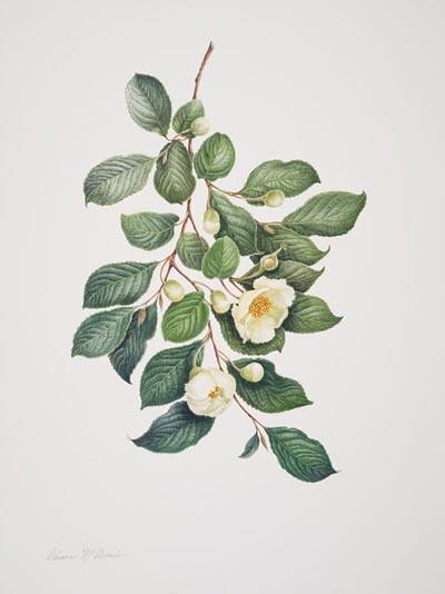 "Dianne McElwain, Stewartia pteropetiolata var. koreana, 2006.  Watercolor on Fabriano Artistico, 20"" × 16"". © Copyright Brooklyn Botanic Garden"