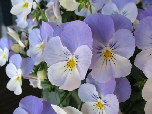 Pansies at the Pier