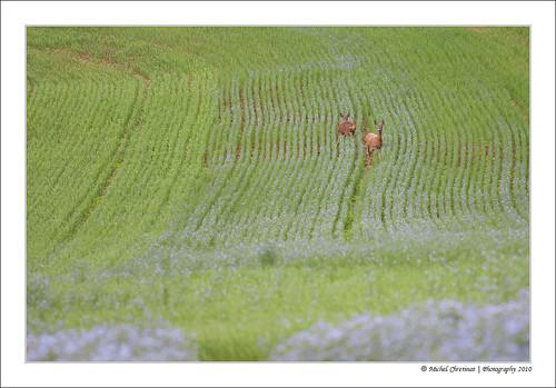 fleur field geotagged lin roedeer champ flax picardie picardy geo:lon=2495613 geo:lat=49366333