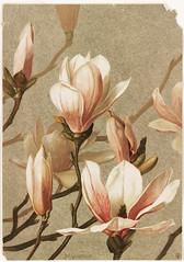 flower, magnolia, plant, illustration, petal,