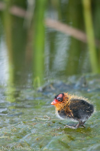 california baby cute bird nature animal fauna reeds photography nikon image sandiego wildlife stock young adorable waterbird chick ugly animalia avian americancoot fulicaamericana naturesfinest lakemurray supershot avianexcellence d300s sigma150500 nickchill photocontesttnc10 nwfphotocontest2010