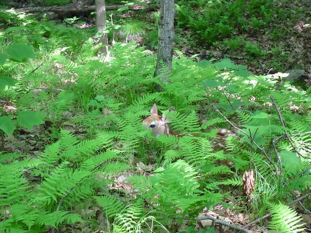 Fawn hiding
