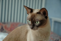 animal, siamese, small to medium-sized cats, pet, fauna, singapura, thai, tonkinese, close-up, cat, burmese, carnivoran, whiskers, balinese,