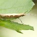 Diamondback Moth - Photo (c) International Institute of Tropical Agriculture, some rights reserved (CC BY-NC)