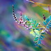 ...Angophora australis... by Geoff...
