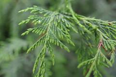 Chamaecyparis nootkatensis ´Van Den Akker´