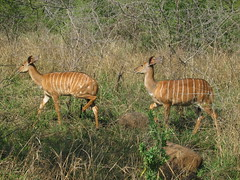 herd(0.0), impala(0.0), animal(1.0), prairie(1.0), antelope(1.0), mammal(1.0), fauna(1.0), bongo(1.0), savanna(1.0), safari(1.0), wildlife(1.0),
