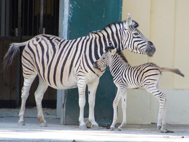 Hooray Zebra foal born, Sony SLT-A58, Sigma 18-250mm F3.5-6.3 DC OS HSM