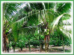 Beautiful trees of Cocos nucifera (Coconut Palm Tree, Malayan Coconut Palm, Green Malayan Palm) with coconuts, 11 Oct 2009