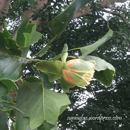 tulip tree flower photo side