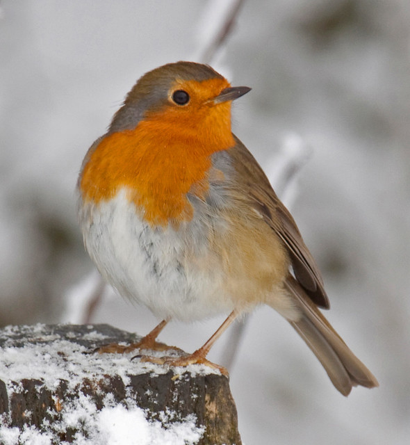 Robin in the snow 3
