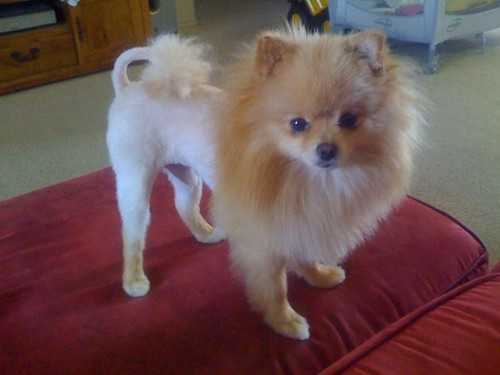 Teddy with the infamous Lion haircut | the hubs told me ...White Pomeranian Lion Cut