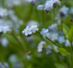 flower, plant, nature, macro photography, herb, wildflower, flora, forget-me-not, meadow,
