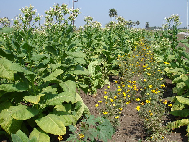 tobacco,marigold trap crop | Flickr - Photo Sharing!