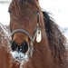 Equine ice beard