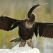 Anhinga - Photo (c) Adrian.Jelley, some rights reserved (CC BY-NC-SA)