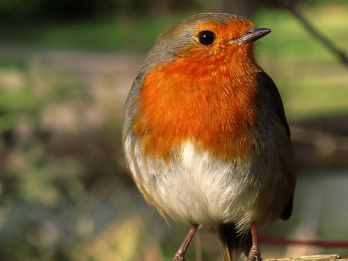 Robin Red Breast Profile