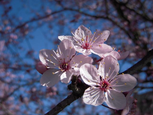 cherry blossoms, Nikon COOLPIX S52