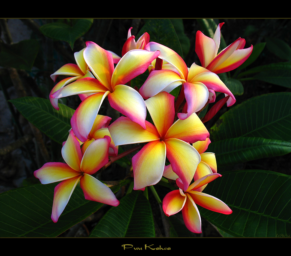 Hawaiian Flowers The Plumeria Puu Kahea a photo on Flickriver